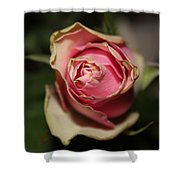 Dying Rose Shower Curtain