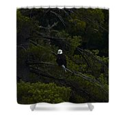 Eagle In White Pine Shower Curtain