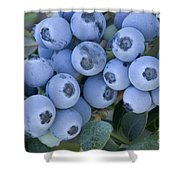 Early Blue Blueberries Shower Curtain