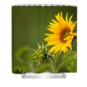 Early Morning Sunflowers Shower Curtain