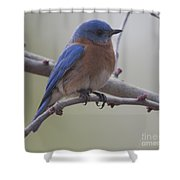 Eastern Blue Bird Shower Curtain