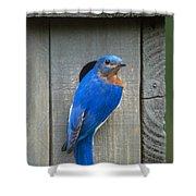Eastern Bluebird At Nest Shower Curtain