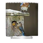 Eastern Bluebird Family Shower Curtain