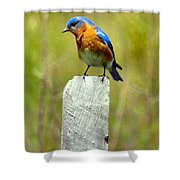 Eastern Bluebird Pose Shower Curtain
