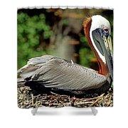 Eastern Brown Pelican Shower Curtain