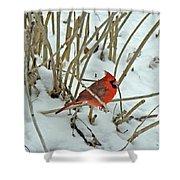 Eastern Cardinal - Cardinalis Cardinalis Shower Curtain