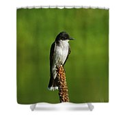 Eastern Kingbird Shower Curtain