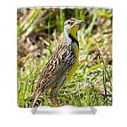 Eastern Meadowlark Shower Curtain