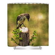 Eastern Phoebe Shower Curtain