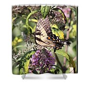 Eastern Tiger Swallowtail - Butterfly Shower Curtain