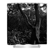 Elizabethan Gardens Tree In B And W Shower Curtain