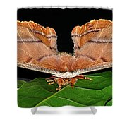 Emperor Gum Moth - 6 Inch Wing Span Shower Curtain