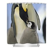 Emperor Penguin Parent Feeding Chick Shower Curtain
