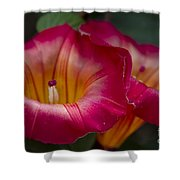 Stictocardia Beraviensis Hawaiian Sunset Vine Enchanting Floral Shower Curtain