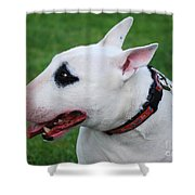 English Bull Terrier Shower Curtain