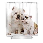 English Bulldog, Adult And Puppy Shower Curtain