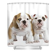 English Bulldog Puppies Shower Curtain