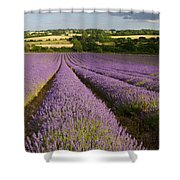 English Lavender Near Alton In Hampshire Shower Curtain