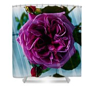 English Rose - Purple Rose - Fragrant Rose Shower Curtain
