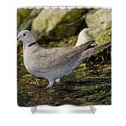 Eurasian Collared Dove Shower Curtain