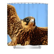 Eurasian Hobby Falco Subbuteo In Shower Curtain