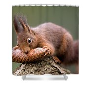 Eurasian Red Squirrel Biting Cone Shower Curtain by Ingo Arndt
