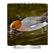 Eurasian Wigeon Feeding Shower Curtain