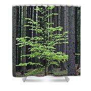 European Beech Tree In Noway Spruce Shower Curtain