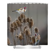 European Goldfinch Shower Curtain