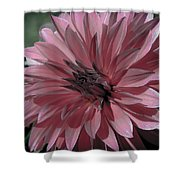 Faded Pink Dahlia Shower Curtain