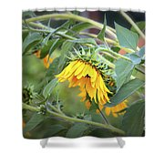 Fading Sunflower Shower Curtain