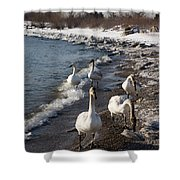Family Walk On The Beach - Wild Trumpeter Swans Lake Ontario Toronto Shower Curtain