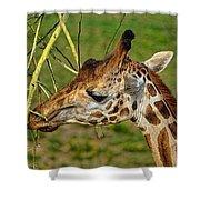 Feeding Giraffe Shower Curtain