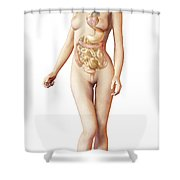 Female Body With Full Endocrine System Shower Curtain