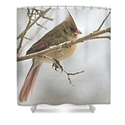 Female Cardinal In Snow 02 Shower Curtain