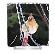 Female Cardinal In Tree Shower Curtain
