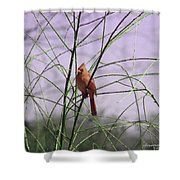 Female Cardinal In Willow Shower Curtain
