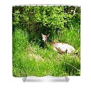 Female Deer Resting Shower Curtain