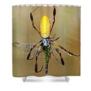 Female Golden Silk Spider Eating Shower Curtain