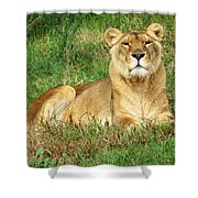 Female Lioness Lying On The Grass In The Afternoon Sun Shower Curtain