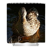 Female Mallard In Pond Shower Curtain