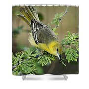 Female Orchard Oriole Shower Curtain
