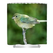 Female Painted Bunting Passerina Ciris Shower Curtain