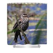 Female Red-winged Blackbird Shower Curtain