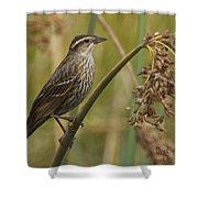 Female Redwing Blackbird Shower Curtain