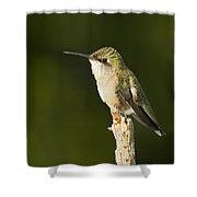 Female Ruby Throated Hummingbird Shower Curtain