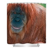 Female Sumatran Orangutan Shower Curtain
