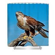 Ferruginous Hawk About To Take Shower Curtain