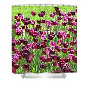 Field Of Purple Tulips 1 Shower Curtain
