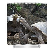 Fighting Galapagos Giant Tortoises Shower Curtain